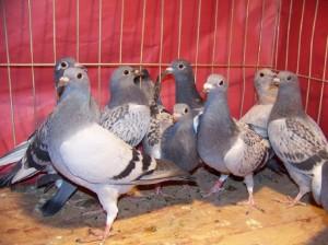 slave pigeons