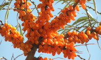 Say Hello to Your New Superfruit: Sea Buckthorn
