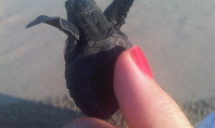 Baby Sea Turtles Melt Hearts