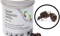 Giant Toasted Ants Taste Like Bacon?!