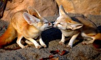 Cuteness Overload: Foxy Edition