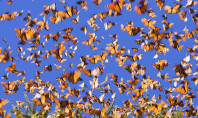 Nature Spotting: The Monarch Migration