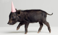 Cute Spotting: Party Pig