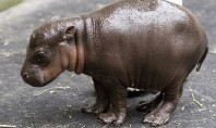 Cute Spotting: Baby Hippo