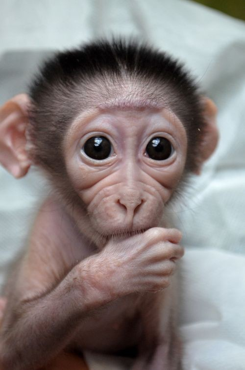 One purchase a baby monkey like this i want one too cute for words
