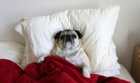 Pug in Bed