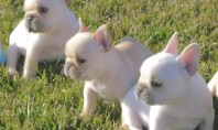 frenchie puppies