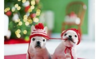 Holiday french bulldogs