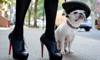 fashion bulldog