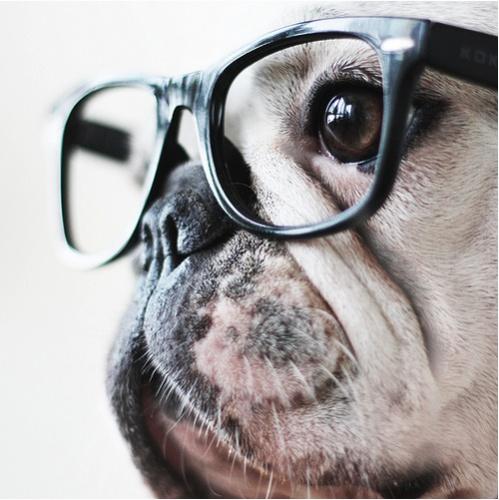 glasses bulldog