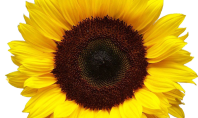 Top 5 Sunflower Finds on Etsy