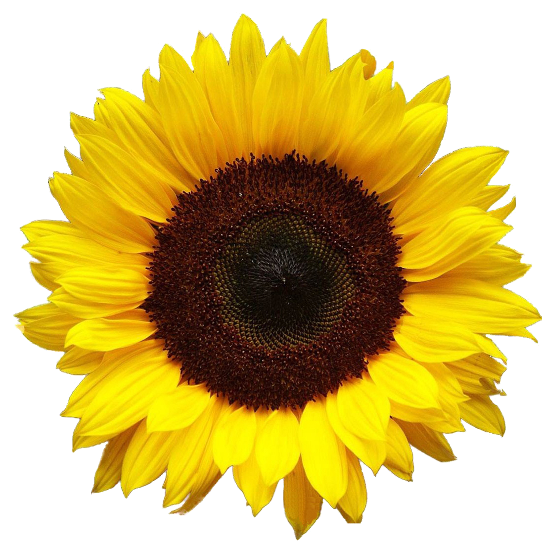 Top 5 Sunflowers on Etsy