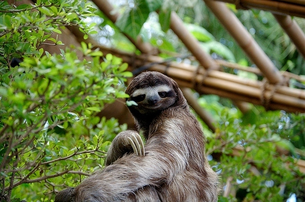 Fabulous sloth