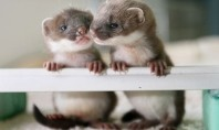 baby stoats