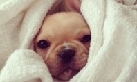 bundled frenchie