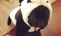 panda pug
