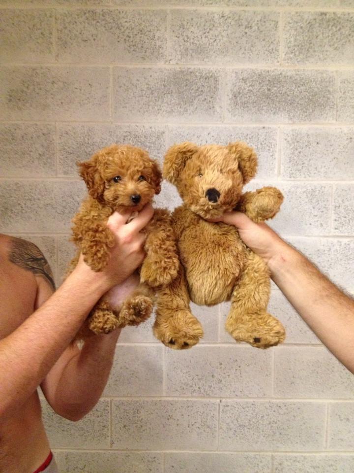 Puppy vs Bear