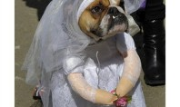 bride bulldog