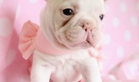pink frenchie puppy
