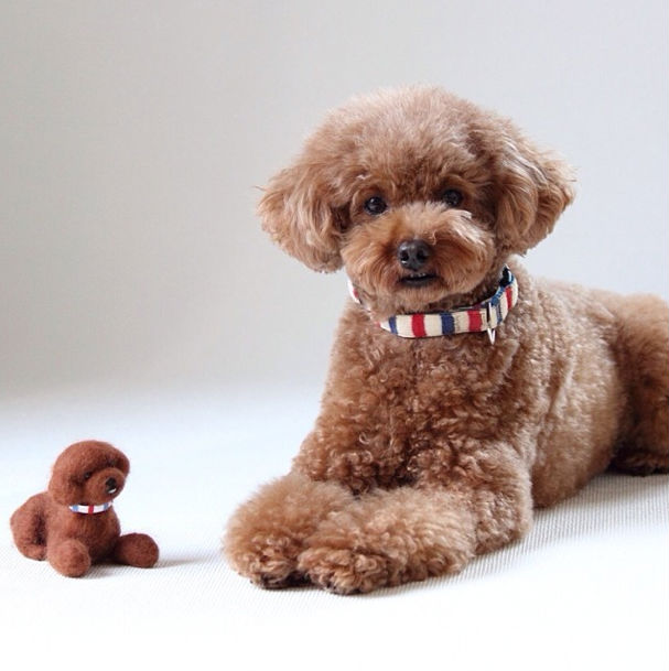 Apricot Poodle 02 | This adorable puppy was here with his ... |Cute Poodle Puppies