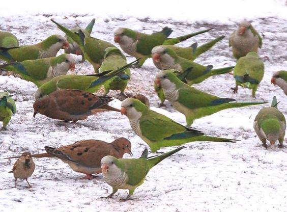 wild parrots in brooklyn