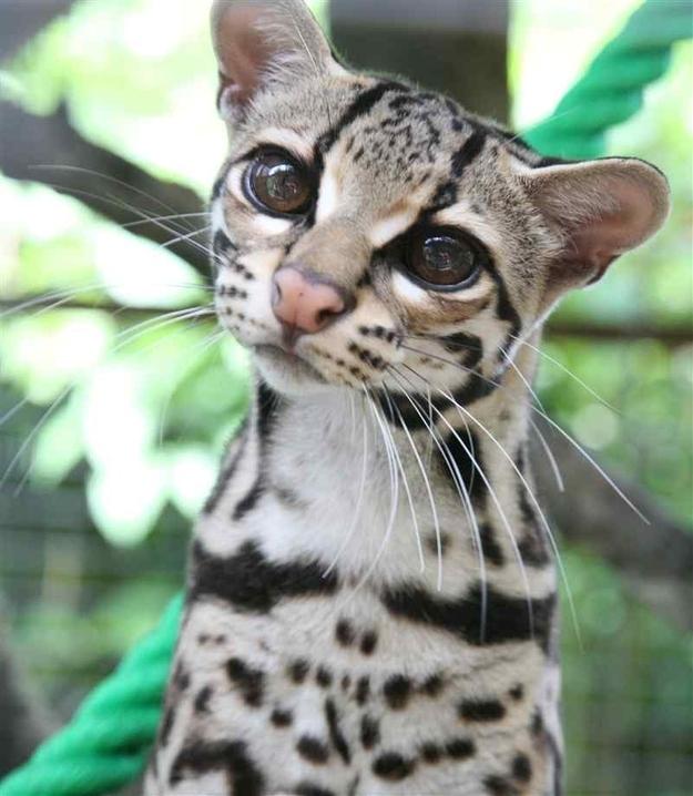 Any Cat Breeds From Mexico