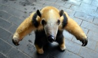Cutest Baby Anteaters, Ever