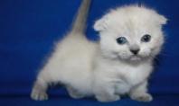 Drunken Munchkin Kittens