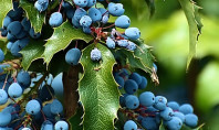 10 health benefits of the Oregon Grape