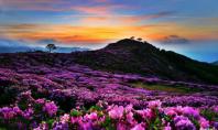 Mt Hwangmaesan azaleas
