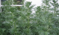 Health Benefits of Wormwood