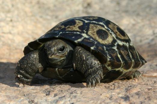 galapagos turtle hatchlings