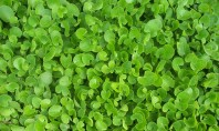 6 Health Benefits of Gotu Kola