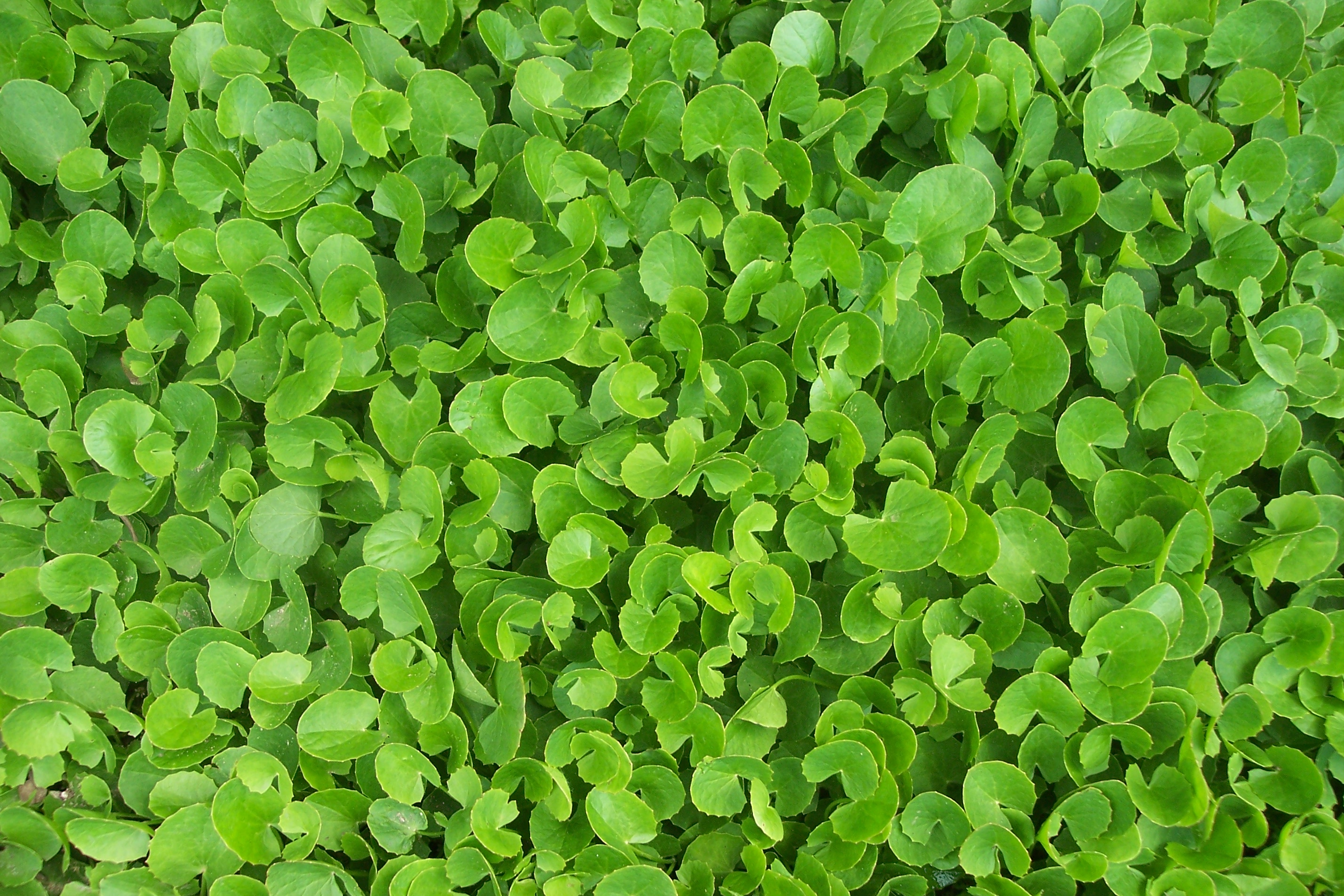 18 Interesting Gotu Kola Benefits