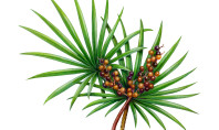 7 Health Benefits of Saw Palmetto