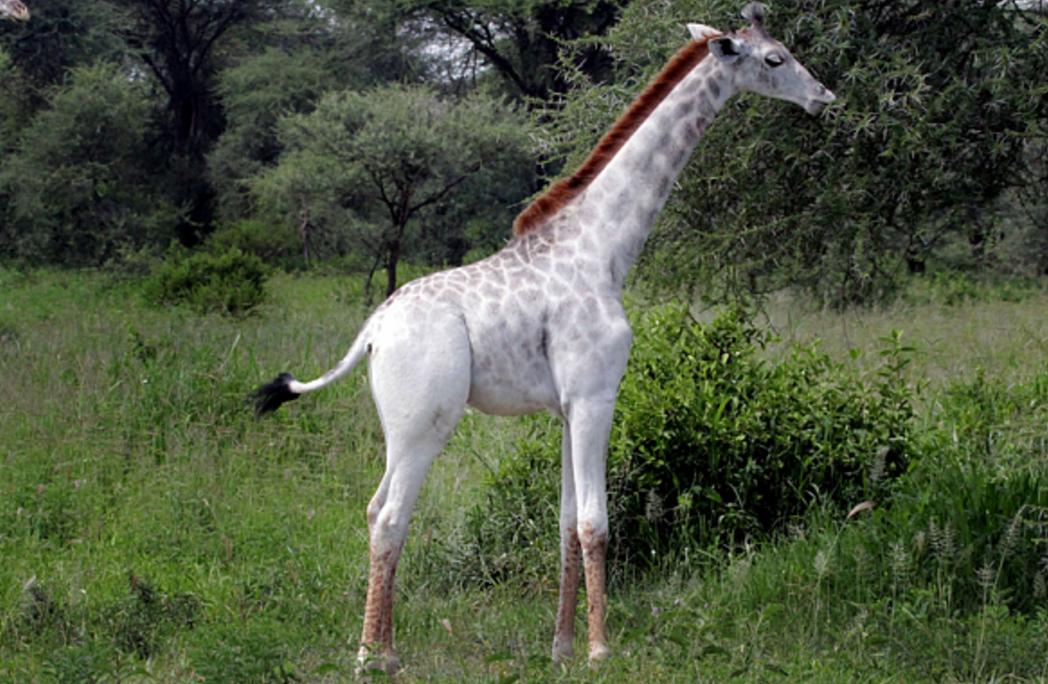 rare white giraffe