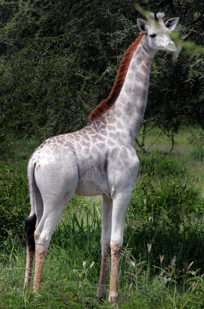 Rare White Giraffe Spotted In Africa The Luxury Spot