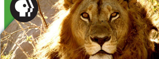 androgynous lionesses