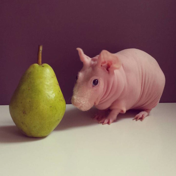 Naked Hairless Guinea Pigs (because That's What This Day
