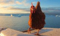 This Traveling Chicken Has Seen More Countries Than You