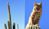 bobcat on a cactus